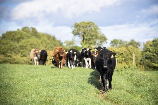 Archers Cows-141