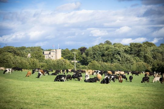 Archers Cows-93